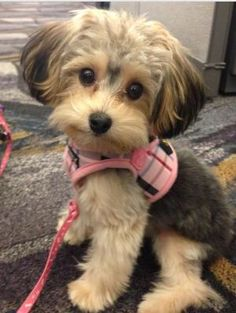 Yorkie ton - so cute!!