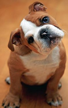 My favorite type of dog in the whole world! Well, next to labs, but I REALLY want an English bulldog someday! By the way, this cutie's name is Ginger.