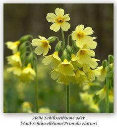 Hohe Schlüsselblume (Primula elatior)