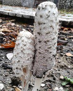 """145 """"Μου αρέσει!"""", 6 σχόλια - Evanthia Kaba (@evanthia_kaba) στο Instagram: """"At my garden 🍄🍄🍄 #mushrooms #white #myworld🌎 #mygarden #mountains #tv_hiddenbeauty…"""" Moth, Insects, Nature, Animals, Instagram, Naturaleza, Animales, Animaux, Animal"""