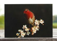 Robin on the tree blossom photo greeting card, robin greeting card, robin card, robin photo card, blank card, bird card, wildlife card, animal card, robin birthday card, Christmas card, flying robin, nature card, european robin, robin bird