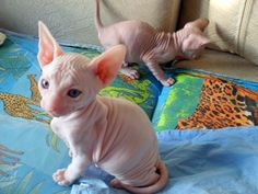 Caring For A Sphynx Kitten: Learn And Apply
