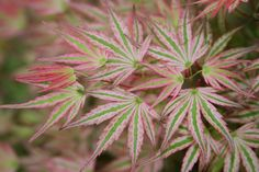 Acer palmatum 'Ikandi'