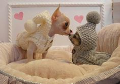 Chihuahuas... Soo adorable! Want an outfit like this for our chis Love Your Dog? Visit our website NOW!