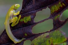 Emerald Glassfrog (Espadarana prosoblepon) (by Lucas M. Bustamante-Enríquez)