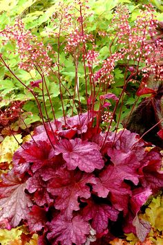 "Heuchera 'Berry Smoothie' 9 - 14"" tall, 12 - 15"" wide Light: Full Sun, Part Shade Blooms: Summer Flower Color: White 