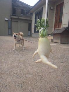 A Japanese daikon radish running away from a pet dog|逃げろー