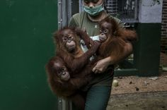 The biggest threat to orangutans in both Borneo and Sumatra is the loss of their rainforest habitat. Forests are cleared for timber or for palm oil or pulp and paper concessions, or by smaller-scale farmers to gain extra agricultural land.