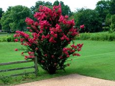 Crepe Myrtle:  Most crepe myrtles can grow up to 15 feet, so make sure you have room for it to grow when you plant it.  This plant also likes full sun and lots of water.  You can get a crepe myrtle in just about any color too!