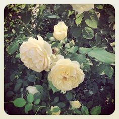Yellow June roses in Central Park