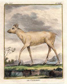 """Le Caribou"" - Kanadisches Rentier - Karibu, Georges-Louis Leclerc de Buffon, Original Kupferstich um 1776 aus Buffons ""Histoire Naturelle"""