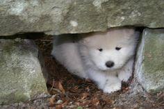 hiding baby #samoyed