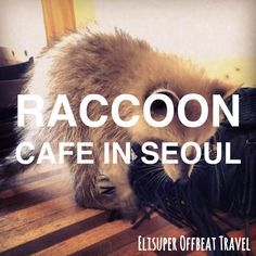 Raccoon Cafe In Seoul | Elisuper Offbeat Travel - http://www.elisuperoffbeattravel.com/2015/07/bonita-di-cafe-raccoon-cafe/