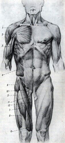 Human Anatomy Drawing, Human Body Anatomy, Anatomy Study, Anatomy Reference, Human Body Drawing, Human Figure Drawing, Life Drawing, Body Gestures, Anatomy Images