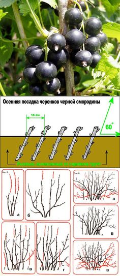 Смородина черная: сорта, выращивание и уход.   ДАЧНЫЕ ХИТРОСТИ   Постила