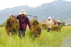Image result for gặt lúa