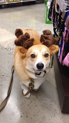 """How do my ears look now?"" - Bebop the [cute Pembroke Welsh] Corgi rocking the reindeer look - via Corgi Addcit"