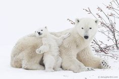 In Manitoba's Wapusk National Park, a polar bear and her fourmonth-old cub nestle by a willow tree. Hungry mothers and cubs exit their birthing dens each spring—at the same time seal pups are born on pack ice in nearby Hudson Bay. Animals And Pets, Baby Animals, Funny Animals, Cute Animals, Baby Giraffes, Nature Animals, Especie Animal, Mundo Animal, National Geographic