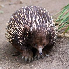 Echidna together with the platypus, are the only extant mammals that lay eggs (order Monotremata). Echidna together with the platypus, are the only extant mammals that lay eggs (order Monotremata). Interesting Animals, Unusual Animals, Rare Animals, Animals Beautiful, Animals And Pets, Strange Animals, Australia Animals, Tier Fotos, Animals Of The World