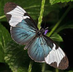 Sapho Longwing (Scientific name: Heliconius sapho)