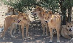Dingo Lady: The Truth about Dingoes: 6 The protector of our na...