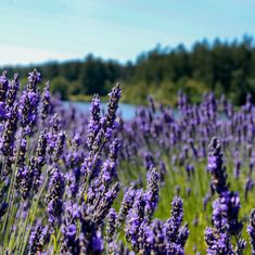 If you see some lavender today, stop for a moment and give the flowers a gentle squeeze and inhale its sweet aroma. Your body and mind will appreciate the little aromatherapy moment. Lavender Essential Oil Uses, Essential Oils, Beautiful Farm, Organic Farming, Natural Oils, Aromatherapy, In This Moment, Island, Sweet