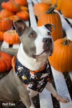 American Pit Bull Terrier...in a pumpkin patch.