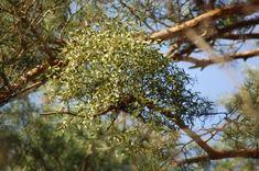Bunch of mistletoe in pine treetop Music Files, Mistletoe, Pine, Photo Editing, Stock Photos, Fine Art, Creative, Flowers, Plants