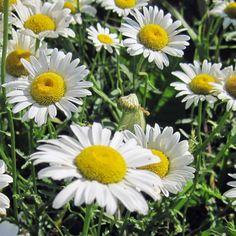 Ox-eye Daisy, Chrysanthemum leucanthemum