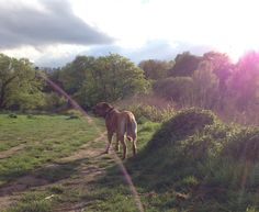 #newtonthefrenchmastiff // Bordeaux Dogge Newton