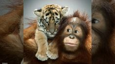The Myrtle Beach Safari Park has an unlikely combo on their hands - an orangutan who thinks he is a dad to four tiger cubs.