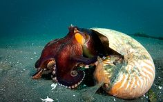 fyeah-seacreatures:    Coconut Octopus in a Nautilus Shell. By:Christian Loader