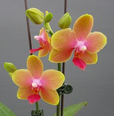 orchids_miniature-moth-orchid-011181.jpg (1562×1600)