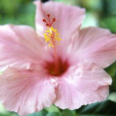 Garden Plants with a Tropical Flair: Tropical Hibiscus. Your petite piece of paradise isn't complete without one of these bright-eyed bloomers. Tropical hibiscus (Hibiscus rosa-sinensis) blooms are 5 to 12 inches across and available in a mix of warm colors. Crepe-paper-like flowers unfurl in mid to late summer, during high temperatures.