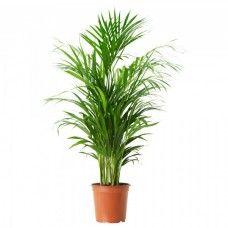 Areca Palm Dubai