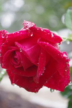Raindrops on roses.