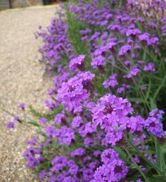 Buy Verbena rigida 'Santos Purple' from Sarah Raven: Verbena rigida is the small and more densely flowery version of verbena which flowers for four or five months at a stretch. Beautiful Flowers, Herbaceous Border, Plants, Purple Flowers, Lavender Seeds, Summer Flowers, Container Flowers, Flower Seeds, Verbena