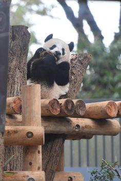 上野 動物園 デイパン 上野案内所「上野パンダファミリー ギフトバウム」が可愛い〜♪