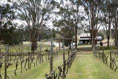 Vines at Moorebank. Lovedale, Hunter Valley, NSW