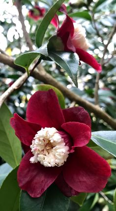 This months Curator's Choice is the Camellia...and why not!   Photo credit:  Mathew Murray