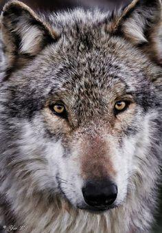 gray wolf  by yair_leibovich**