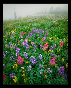 Mount Rainier Wildflowers by Chip Phillips, via Flickr