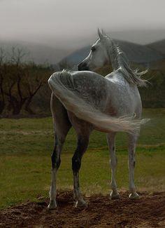 Arabian horse - title 'West Wind' Photo by Photographer Wojtek Kwiatkowski - from photo.net