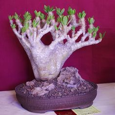 Helpful Guidelines In Growing Indoor Bonsai Trees Pachypodium Horombense Weird Plants, Unusual Plants, Rare Plants, Exotic Plants, Cool Plants, Succulent Bonsai, Bonsai Plants, Bonsai Garden, Cactus Plants