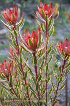 companion plants for succulents, Leucadendron Safari Sunset which hails from Australia via Gardening Gone Wild Garden Shrubs, Planting Succulents, Planting Flowers, Dry Garden, Flower Gardening, Echeveria, Australian Native Garden, Australian Plants, Companion Gardening