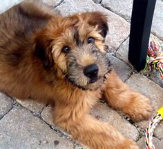 wheaten terrier-so cute                                  wheaten terrier-adorable!