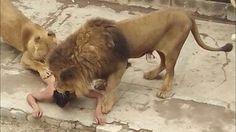 Sự bất cẩn con người gặp động vật ăn thịt có thể trả giá đắt - animals v...