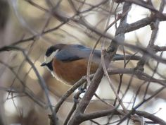 "This is a ""varied tit"" or ""yamagara"" in Japanese. I took this photo in Japan on Feb 11 2016."