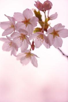 SAKURA. My favourite flower.
