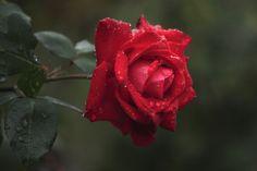 ardent colored rose. | por cate♪